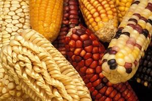 El maíz y la vida en la siembra, testimonios indígenas del maíz y la autonomía en México